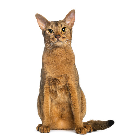 abyssinian cat: Abyssinian, sitting (2 years old), isolated on white