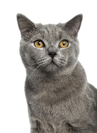 british shorthair: British Shorthair (6 months old)