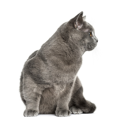 british shorthair: British Shorthair sitting (6 months old)