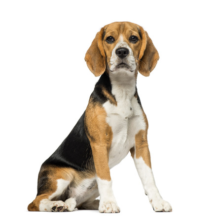 white background: Beagle (3 years old) Stock Photo
