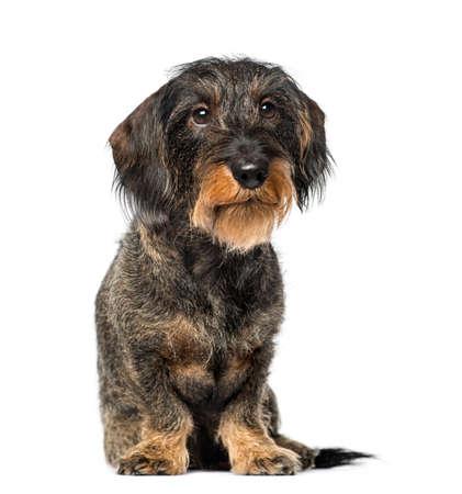 dachshund: Dachshund (8 years old)