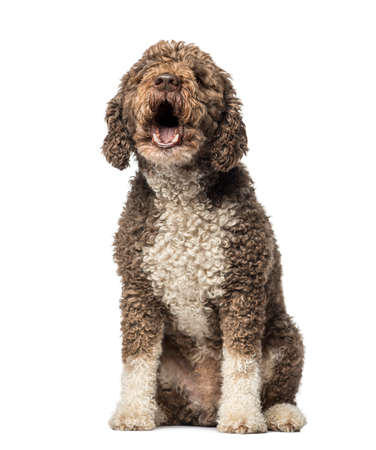 outs: Spanish Water Dog barking (8 years old) Stock Photo