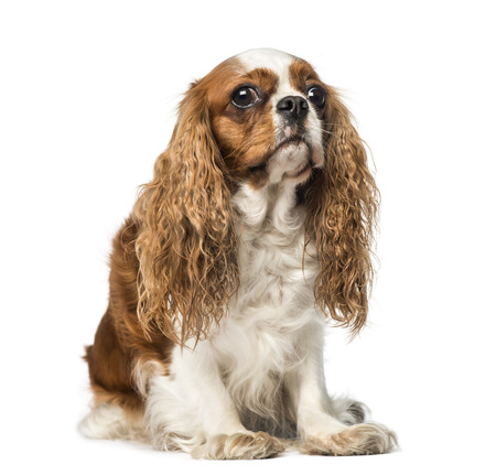 cavalier: Cavalier King Charles Spaniel (4 years old)