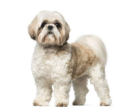 white background: Shih Tzu (3 years old)