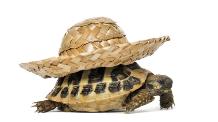 straw hat: Hermanns tortoise, isolated on white