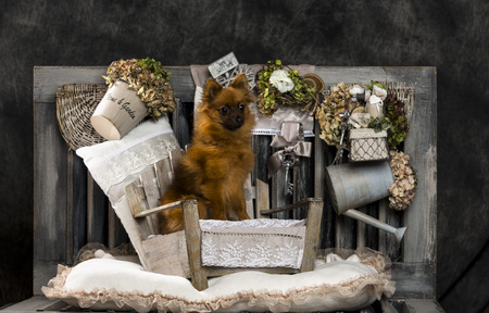 countrified: Spitz in front of a rustic background