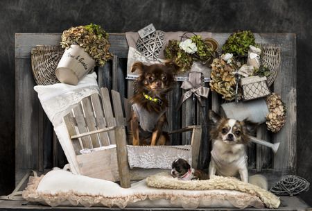 countrified: Chihuahuas in front of a rustic background