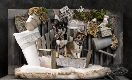 countrified: Chihuahua in front of a rustic background