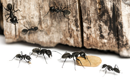 ants: Carpenter ant, Camponotus vagus, carrying an egg