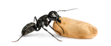 hormiga: Hormiga carpintero, Camponotus vago, llevando un huevo
