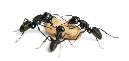 hormiga: Tres hormigas carpinteras, Camponotus vago, llevando un huevo