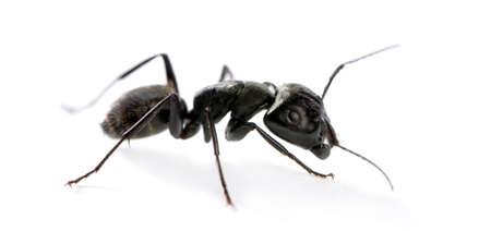 ant: Hormiga de carpintero, Camponotus vago