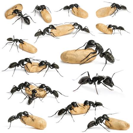 hormiga: Composici�n de una hormiga carpintero, Camponotus vago
