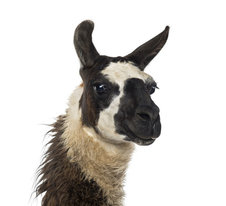 llama: Close-up of a Llama Stock Photo