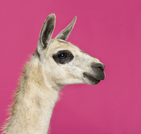 llama: Close-up of a Llama in front of a pink background