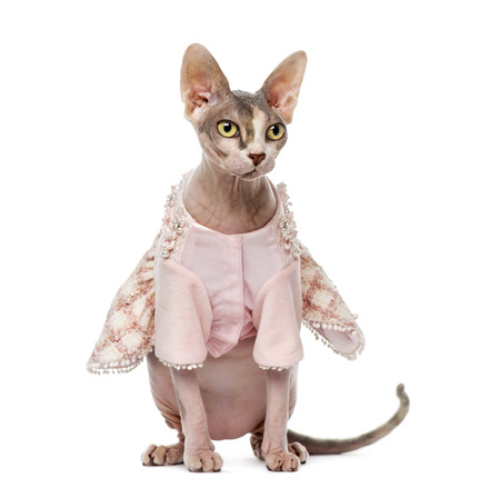 1 year old: Sphynx dressed (1 year old)