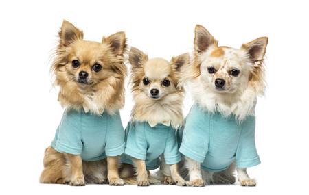 perros vestidos: Tres chihuahuas vestidos Foto de archivo