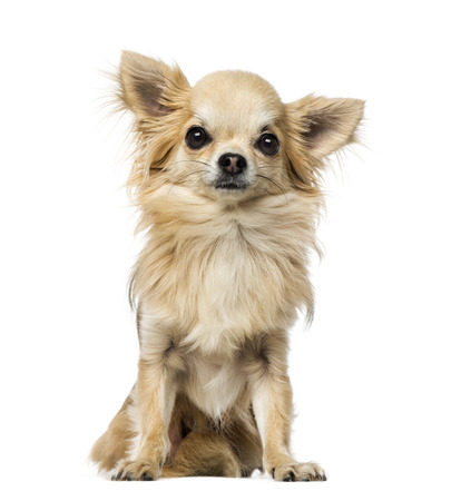 brown white: Chihuahua