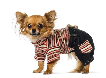 perros vestidos: Chihuahua vestida