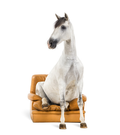 horse andalusian horses: Andalusian horse sitting on an armchair