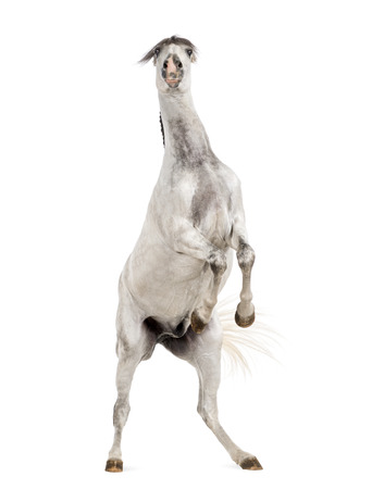 rearing: Andalusian horse rearing Stock Photo