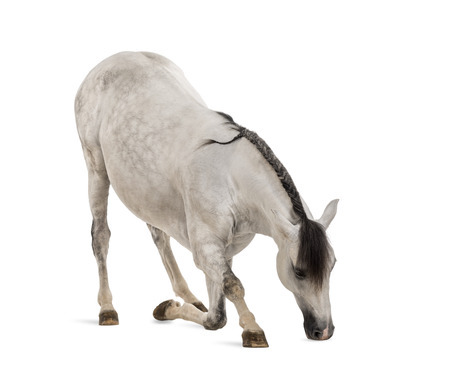 bowing: Andalusian horse bowing Stock Photo
