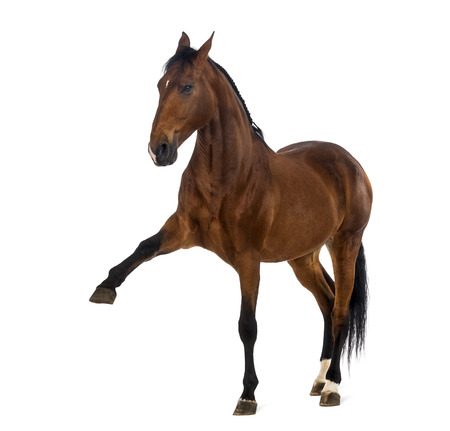 andalusian: Andalusian horse with a leg up
