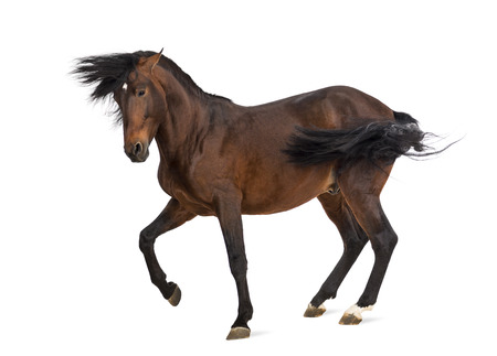 horse isolated: Andalusian horse trotting