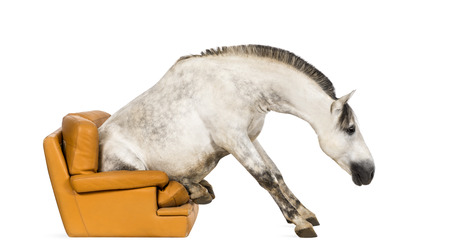 andalusian: Andalusian horse sitting on an armchair