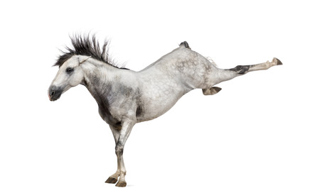 spanish looking: Andalusian horse kicking out