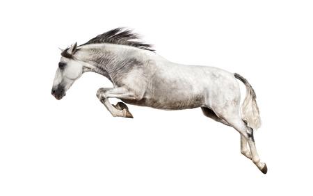 horse andalusian horses: Andalusian horse jumping Stock Photo