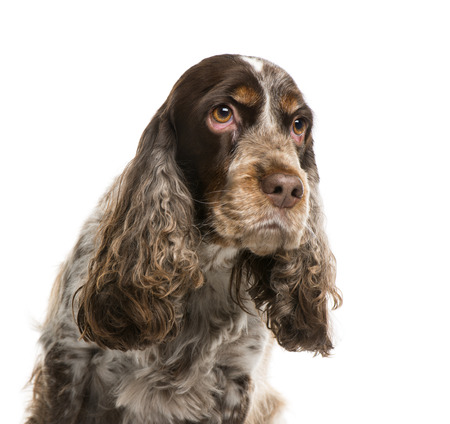 english cocker spaniel: English cocker spaniel