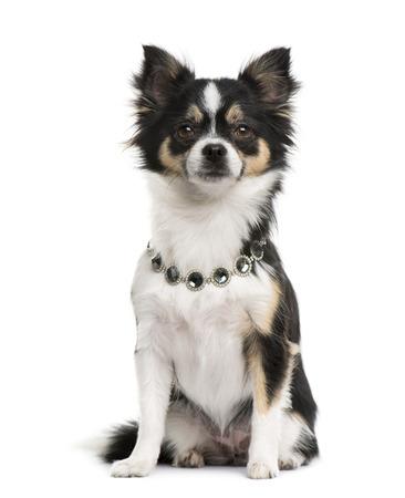 diamante: Chihuahua wearing a diamond collar