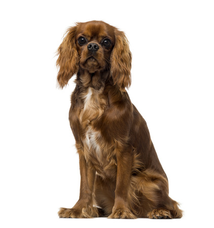 Cavalier King Charles Spaniel (8 months old) photo