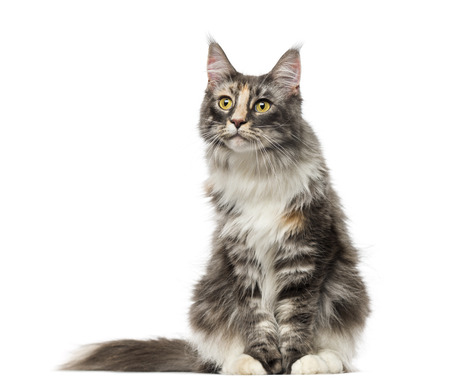 captivated: Maine Coon (2 years old)