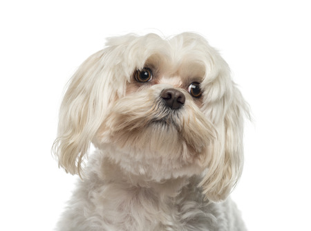 maltese dog: Close-up of a Maltese (6 years old) Stock Photo