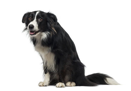 2 years old: Border Collie (2 years old) Stock Photo