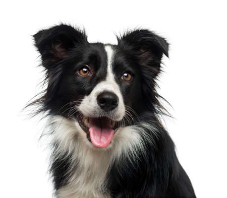 animal border: Border Collie (2 years old) Stock Photo