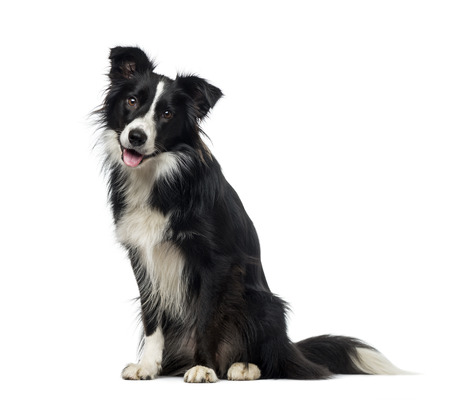border collie: Border Collie (2 years old) Stock Photo