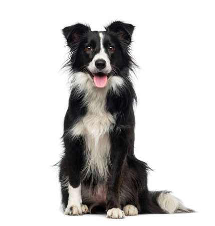 white dog: Border Collie (2 years old) Stock Photo