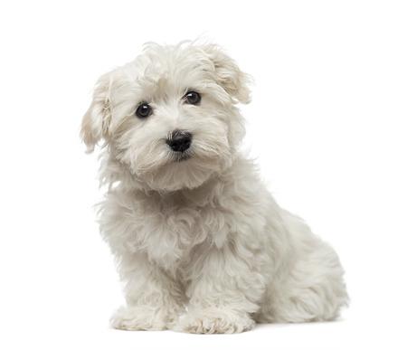 white maltese: Maltese puppy (3 months old)