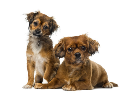 Two Cavalier King Charles Spaniels photo