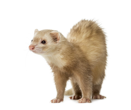 2 years old: Ferret (2 years old)