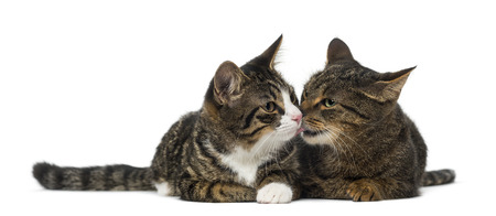 domestic cat: Two kittens