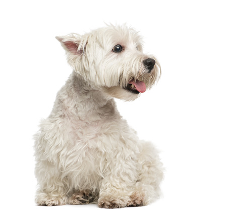 maltese dog: Maltese Stock Photo