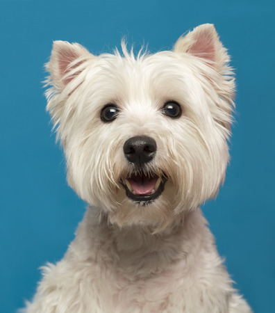 maltese dog: Close-up of a Maltese in front of a blue background