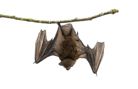 bat: Old common bent-wing bat perched on a branch