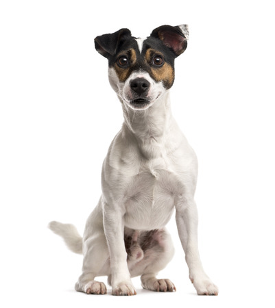 jack russell terrier: Jack Russell Terrier (16 months old) Stock Photo
