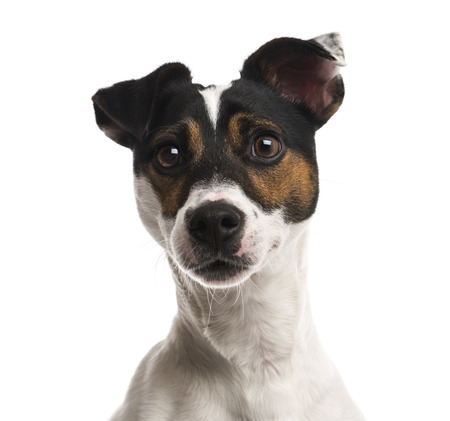 Close-up of a Jack Russell Terrier (16 months old)