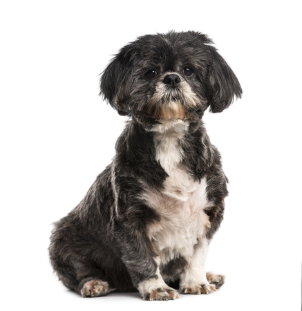 tzu: Shih Tzu (10 years old)